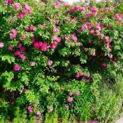 Garden Flowering Shrubs Mountain Gardening Make The Most Of Shrubs In Your Garden