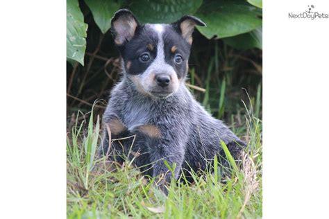 blue heeler puppy names australian shepherd australian cattle blue heeler mix to breeds picture