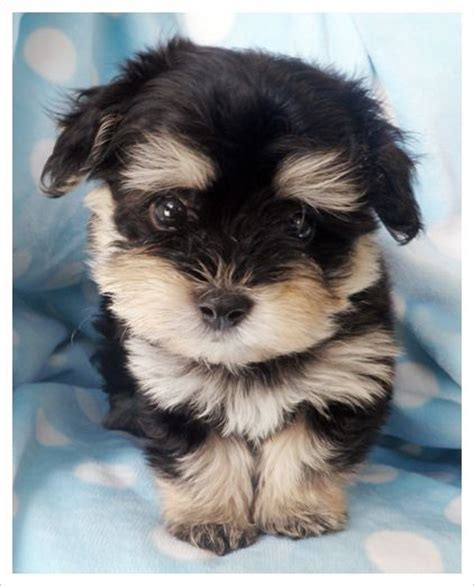 teacup havanese dogs best 25 havanese puppies ideas on cockapoo puppies dogs and