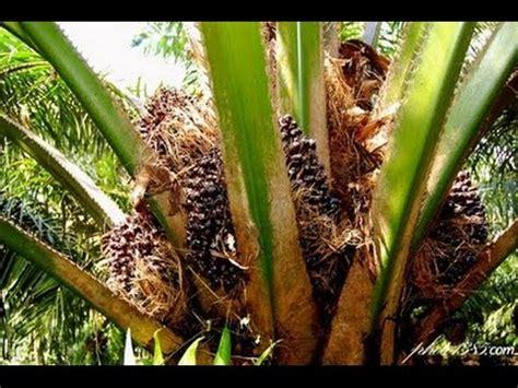 Minyak Kelapa Per Gram 40 kebun sawit sumbar perlu peremajaan harga emas indonesia
