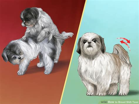 shih tzu pregnancy calendar shitzu pregnancy gestation maple suyrup diet
