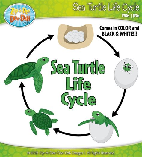cycle of a turtle diagram sea turtle cycle clipart set includes by