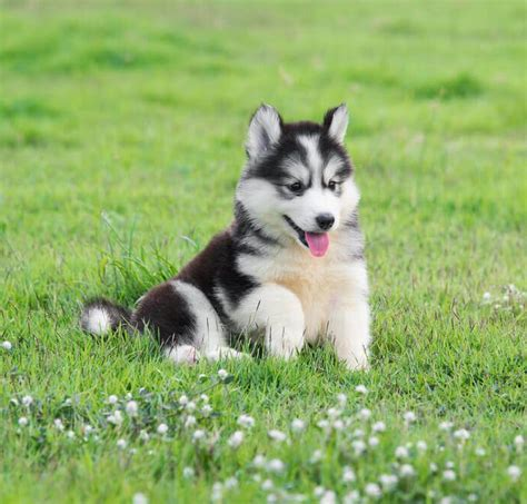 how many puppies can a husky best quality siberian husky puppies for sale singapore march 2018