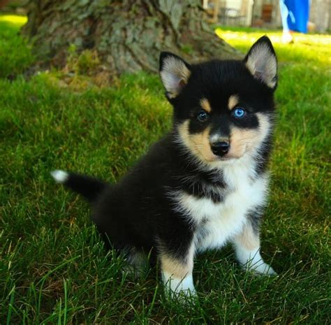pomsky puppies for sale florida pomsky puppies for sale in florida breeds picture