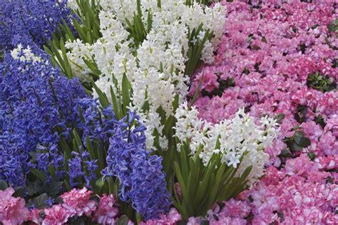 fiori di giacinto giacinto hyacinthus orientalis hyacinthus orientalis
