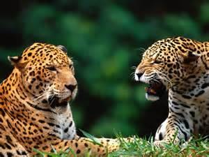 Jaguar Delaware Animali