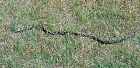 how to find snakes in your backyard dealing with black snakes around your home or garden
