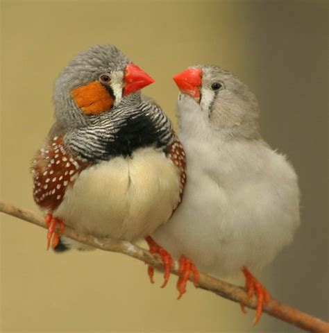 listen to the birds varieties and species of finches