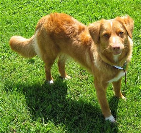 duck puppy scotia duck tolling retriever breed information and pictures