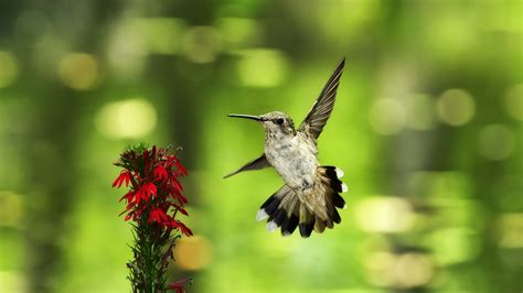 ruby throated hummingbird wallpapers hd images ten hd