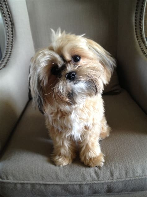 shorkie haircut photos shorkie haircut photos shorkie haircuts image search