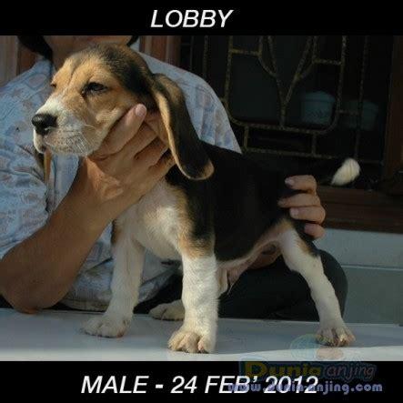 Jual Kostum Anak Lucu Kurcaci dunia anjing jual anjing beagle jual anak beagle lucu lucu harga terjangkau