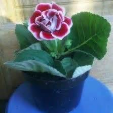 pot mum  florists chrysanthemum chrysanthemum