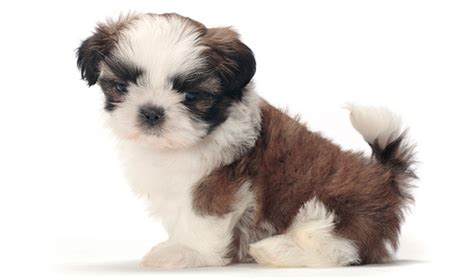 facts about shih tzu dogs shih tzu breed information