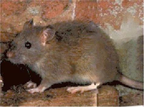 imagenes de vectores transmisores de enfermedades los roedores como transmisores de enfermedades zoon 243 ticas