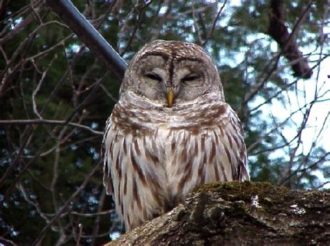 barred owl facts barred owl habitat barred owl diet
