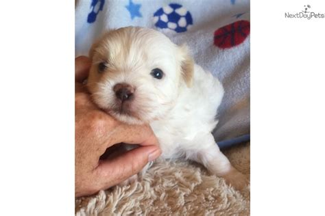 puppies for sale in wilmington nc maltese puppies for sale wilmington nc