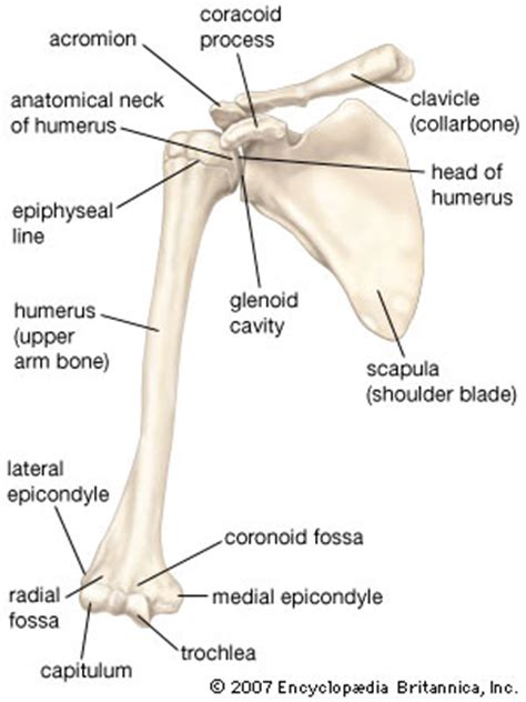 diagram of the clavicle clavicle these bones of mine