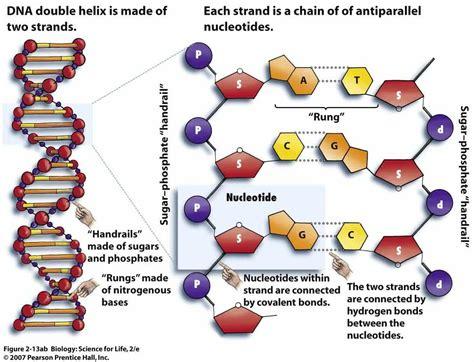 dna molecule diagram diagram of dna to print diagram site