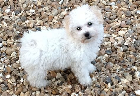 bolognese puppy beautiful bolognese puppy for sale bideford pets4homes