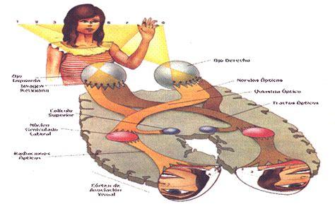 imagenes de las vias visuales fisiolog 237 a de la visi 243 n monografias com