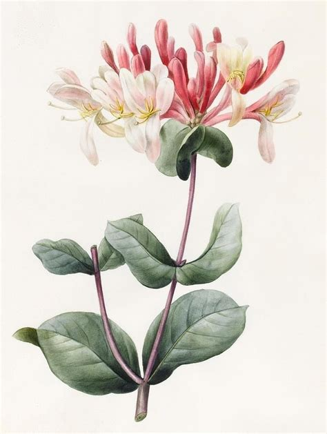 17 best images about botanical prints on antiques sweet peas and peonies