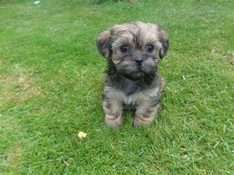 shorkie puppies for sale in pa shorkie puppies for sale shorkie puppies by the shorkie puppy for sale near