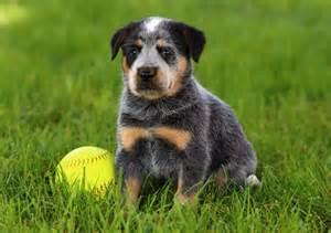 Blue fine blue heeler puppies breed jpg