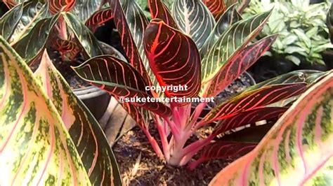 budidaya tanaman hias pesona kecantikan aglaonema red