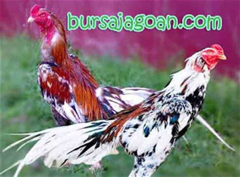 Jual Anakan Ayam Bangkok Batu Lapak pesona ayam bangkok blorok madu wirausaha budidaya ayam