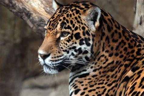 imagenes de la jaguar el jaguar una especie en peligro de extinci 211 n imagenes