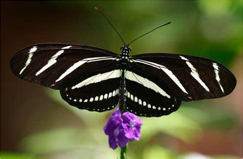 imagenes de mariposas negras y blancas banco de imagenes y fotos gratis imagenes de mariposas