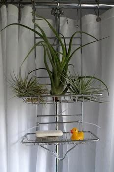 air plants bathroom air plants plants and bathroom on pinterest