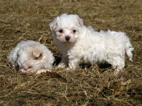 puppies for sale in mississippi maltese puppies dogs for sale in gulfport mississippi ms 19breeders biloxi