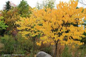 cercis canadensis fall www pixshark com images galleries with a bite