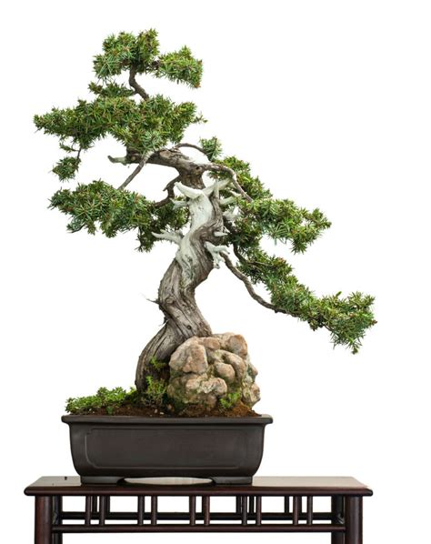 bonsai the beginner s guide to cultivate grow shape and show your bonsai includes history styles of bonsai types of bonsai trees trimming wiring repotting and watering books grow a bonsai tree guide on how to grow a bonsai tree