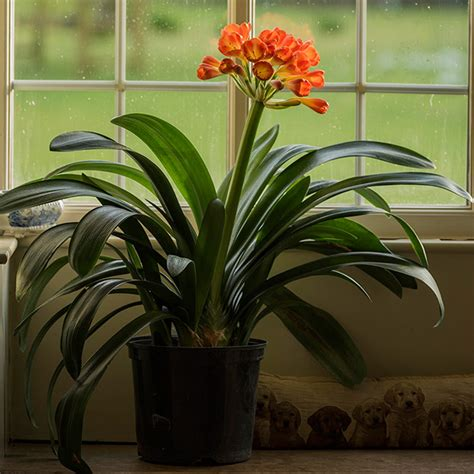 clivea miniata an easy care flowering houseplant hubpages buy kaffir lily clivia miniata delivery by crocus