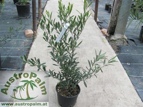 wintergarten fotos 1479 olea europae olivenbaum 70cm busch exotische