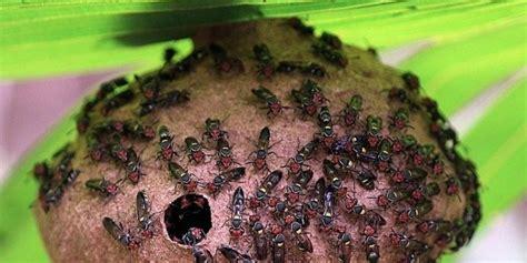 Minyak Tawon Paling Kecil enam serangga ini punya sengatan paling mematikan di dunia