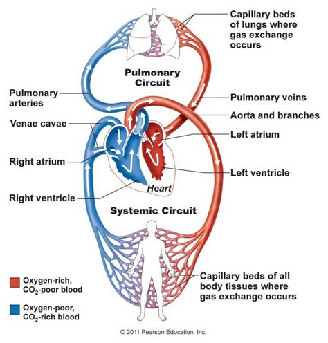 blood flow diagram of the diagram of blood circulatory system human anatomy