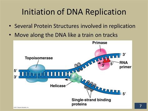 7 proteins involved in dna replication polymerase chain reaction pcr ppt