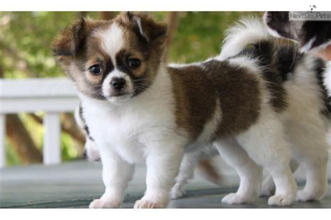 chihuahua puppies for sale in nc chihuahua puppy for sale near eastern nc carolina 8d2a2361 9981