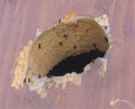 fleas in house fleas in house 28 images how to eliminate fleas from your home for free 7 steps fleas it s