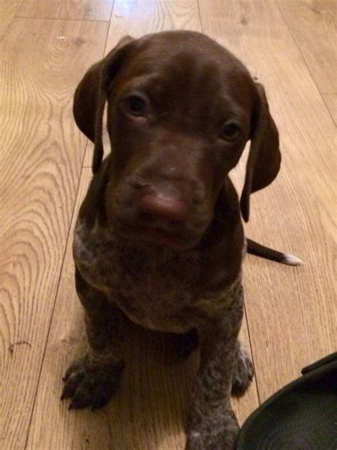 german shorthaired puppies german shorthaired pointer puppies gsp stafford staffordshire pets4homes