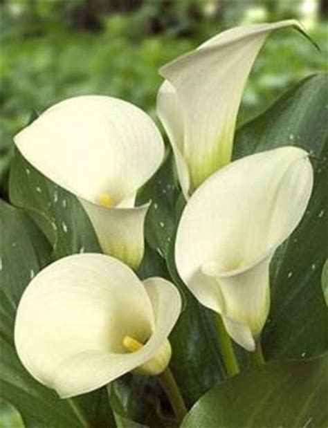 fiori calle fiori calla fiori delle piante significato calla