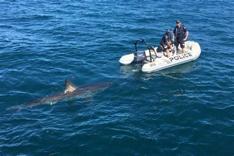 bulls bay boat cost great white shark follows small police boat off australian