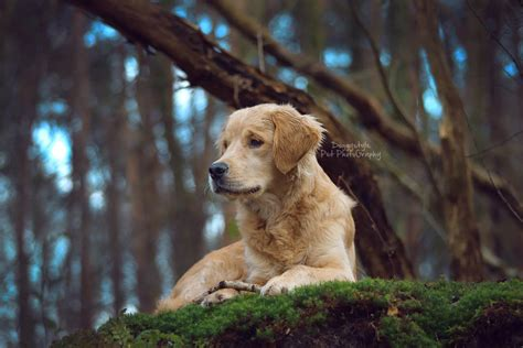 golden retriever buddy golden retriever buddy pet photography by doturbo on deviantart