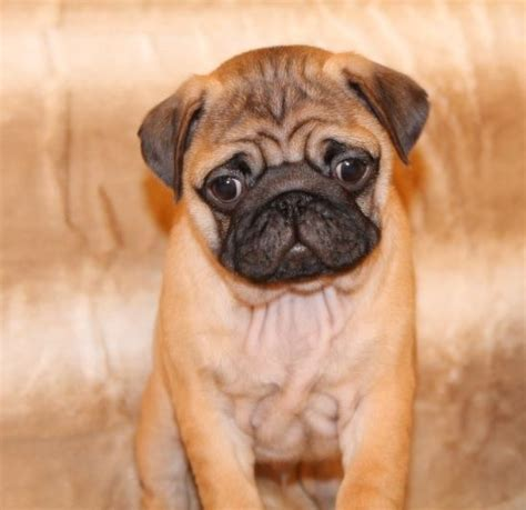 apricot pugs apricot pug puppy animal farm