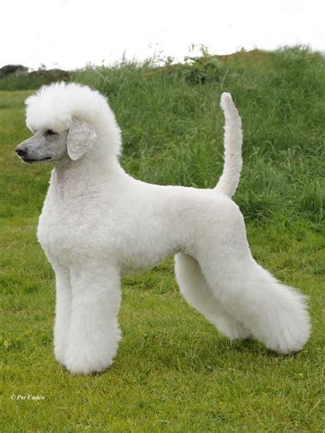 continental poodle grooming styles poodls poodle showcuts scandinavian second puppy german