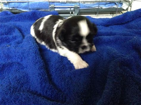shih tzu for sale lincolnshire shih tzu puppies for sale louth lincolnshire pets4homes
